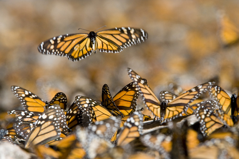 monarch flys above the rest